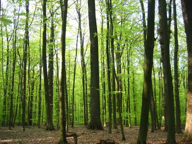 beech-forest-4186.prev
